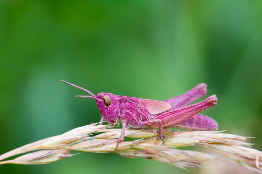 Insects pictures and names - Pink Grasshopper